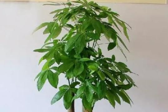 """发财树最爱喝""""2种水"""",每月浇一点,叶片不发黄,绿得冒油光"""