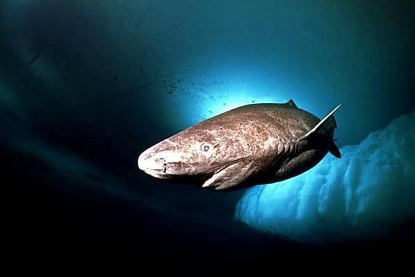 《风味人间》里这种有毒的鲨鱼肉,吃着还很臭,却是冰岛美食