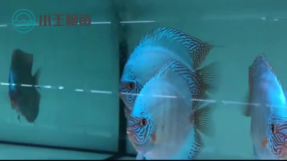 为什么网上买的鱼到家蔫蔫的,七彩推荐——老虎狗