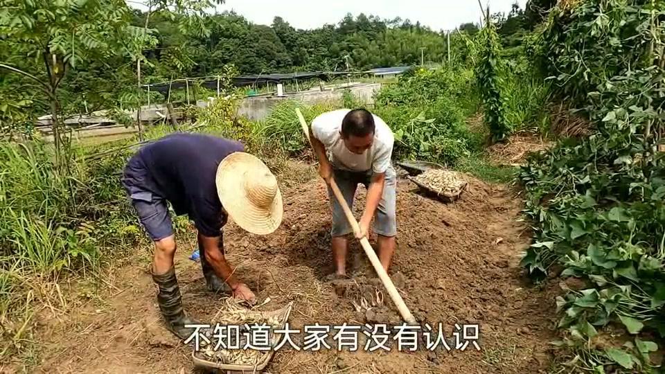 邻居大爷种了一排穷人菜,没锄头都挖不起来,一般没多少人认识!