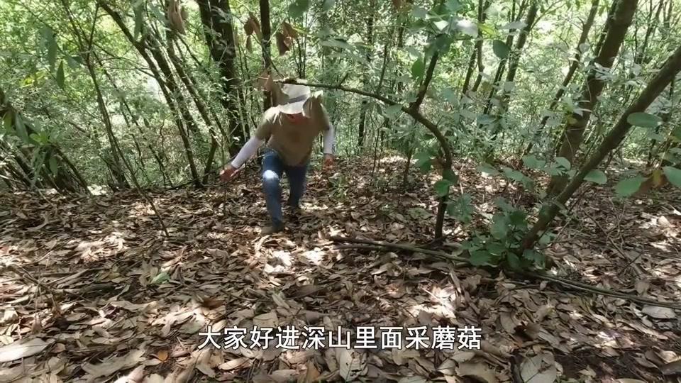 深山采蘑菇,2000元一公斤红蘑菇遍地是,小伙采了2大篮,发财了