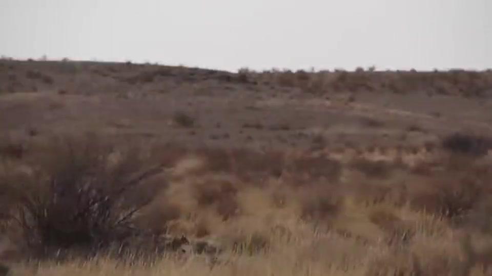 猞猁被美洲狮追到树上,情急之下,猞猁从7米高的大树一跃而下!