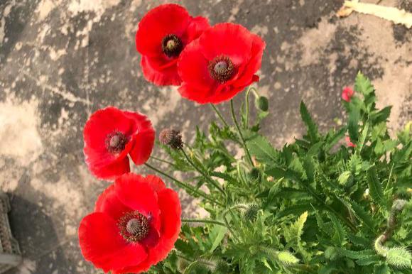 """此""""花""""非常漂亮,常被误认为是罂粟,传说由楚汉时期的虞姬所化"""