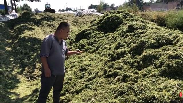 农村大型牛场秒收青储,发酵就是牛羊过冬的料草,来认识了解下
