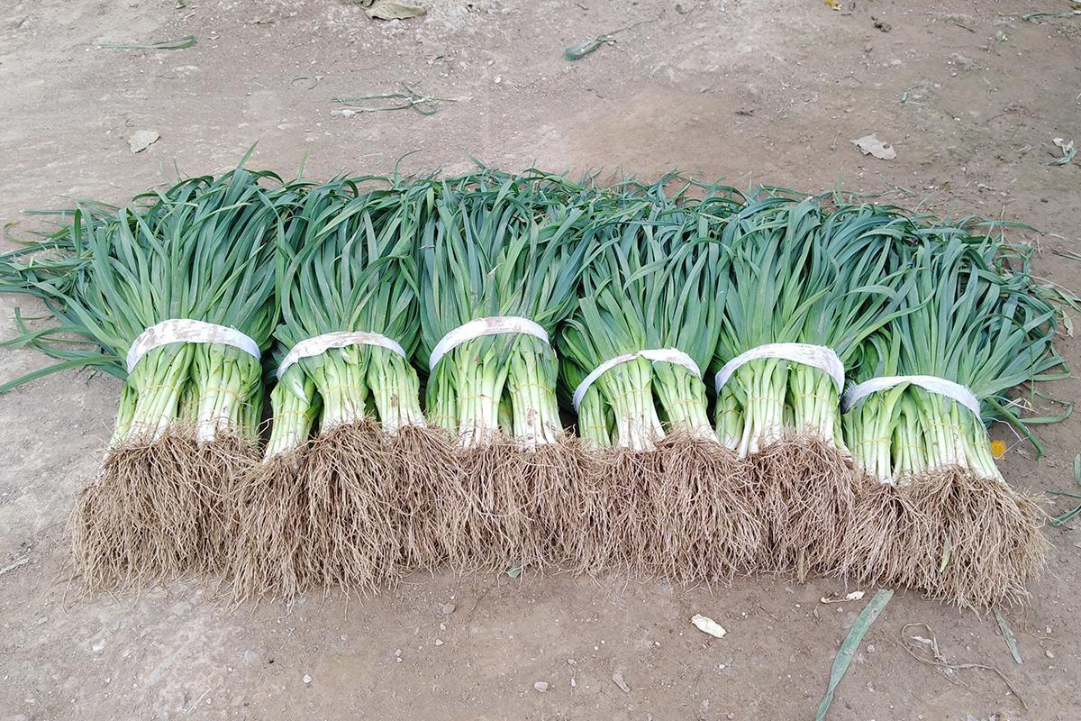 大葱价格居高不下,一种假蒜苗受追捧,高价葱能坚持多久?