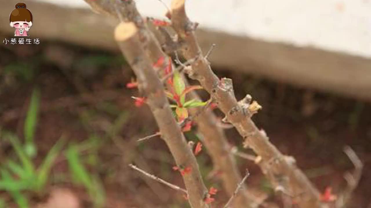 石榴籽吃完不要吐掉,随手扔土里,一周发出嫩芽,来年石榴不用买
