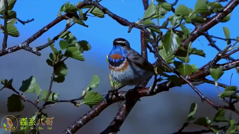 蓝点颏鸟是著名的传统笼养鸟,但是留在大自然会更美好
