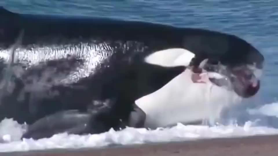虎鲸:海豹小鱼儿,看你哪里逃!