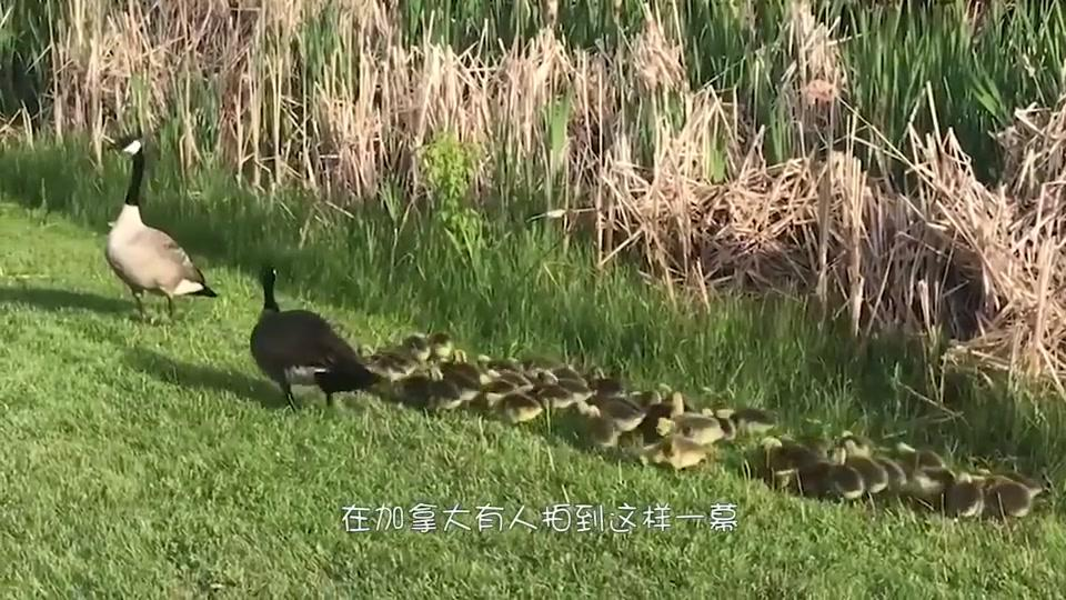 鹅界的超能幼稚园!一只加拿大鹅照顾51只幼崽,网友:真不容易