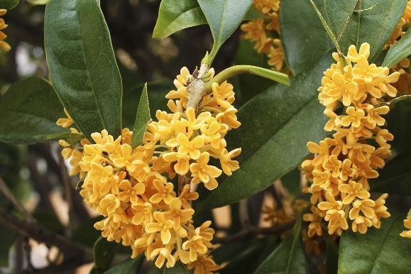 什么品种的桂花树会结果?桂花种子怎样保存和播种?