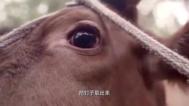 老农民:黄牛吃坏了肚子需要动手术