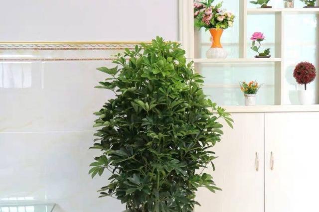 养这4盆花,在家吸烟也不怕,二手烟吸光光,空气清新,一家健康