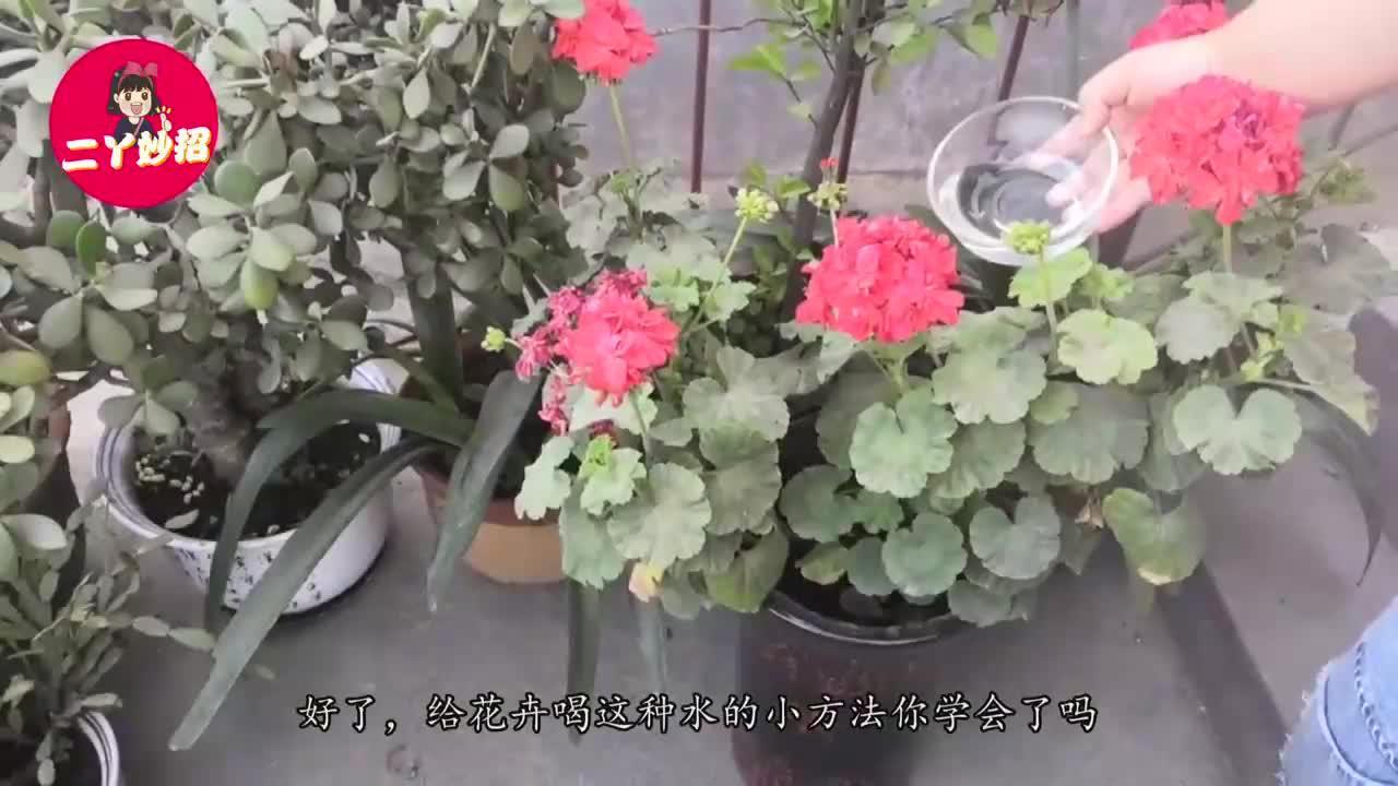 """只需给花卉喝上""""这种水"""",黄叶,生虫轻松解决,早点学会就好了"""