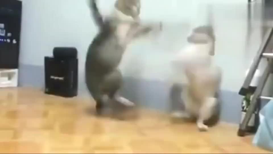 狸花猫:世界级猫王拳击争霸赛,这速度可不是盖的!