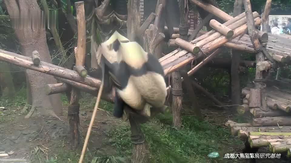大熊猫:熊猫界的二哈,这拆家能力也是没谁了!
