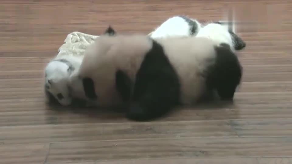 小熊猫看到比自己还小的熊猫,不禁对着小家伙亲吻
