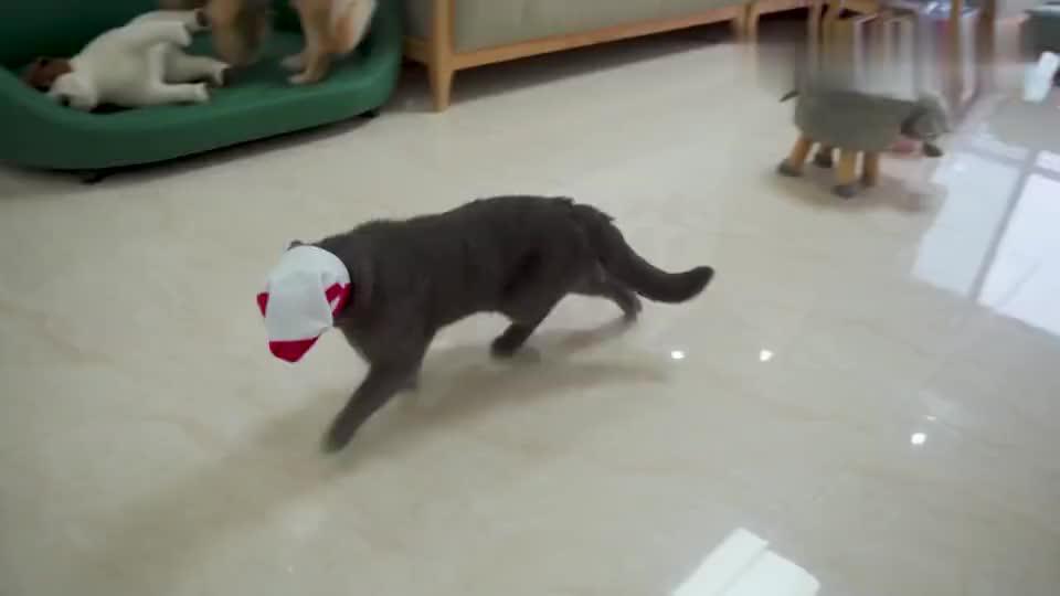 把袜子套在猫头上,猫还会走路吗?大金毛看不下去了