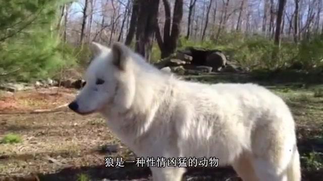 狼遇到人类婴儿为什么不攻击,还会将其养大?看完恍然大悟!