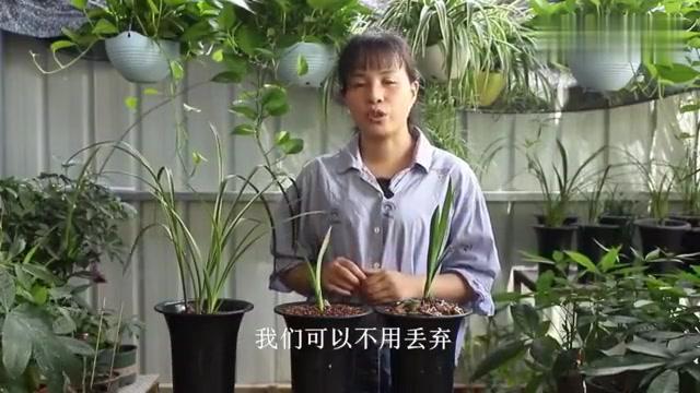 兰花老芦头另植,提高发芽率全靠这4步