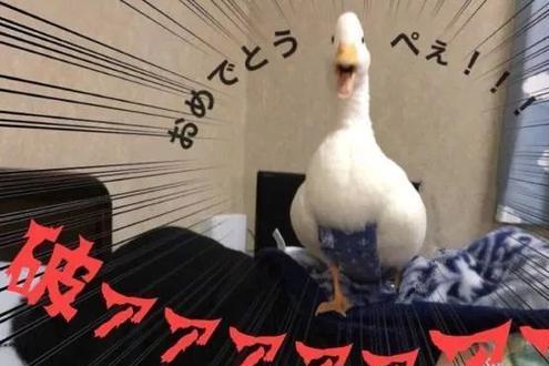 当我们控制住食欲后会发现,原来鸭子也能成为宠物,不只是锅美食
