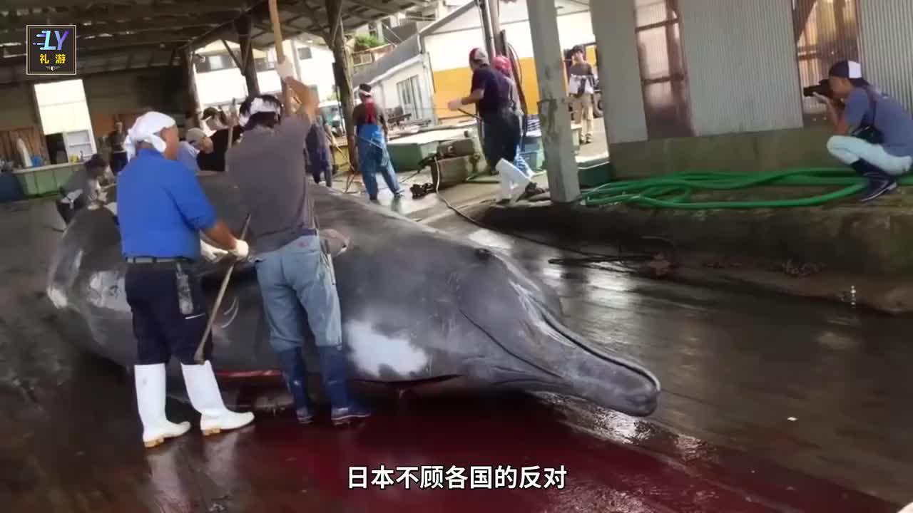 """鲸鱼肉不好吃,为啥日本顶着全世界骂名也要重启""""捕鲸计划""""?"""