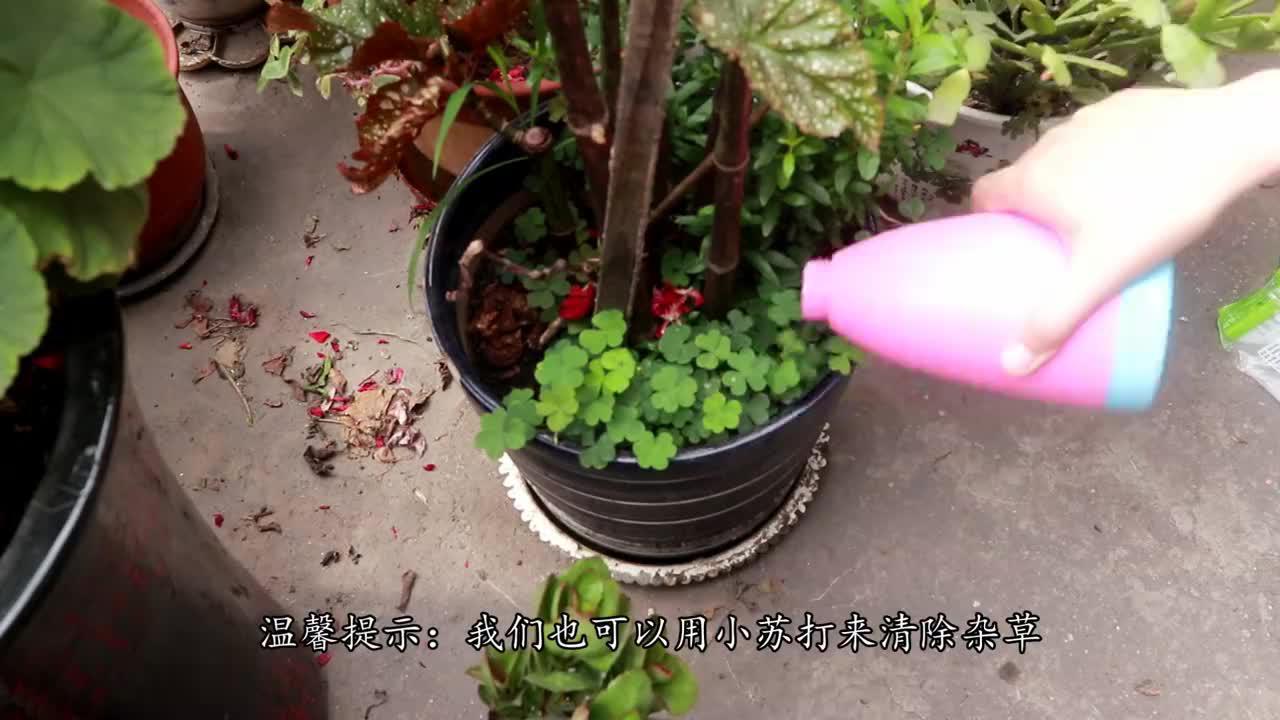 原来花盆中撒一把它,无论什么花,不黄叶不烂根,越长越旺盛