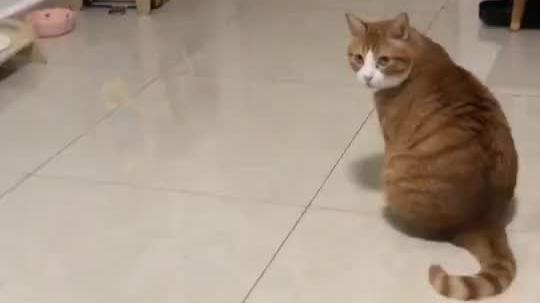 萌宠:这就是我家猫咪发出的声音,行走的低音炮啊!