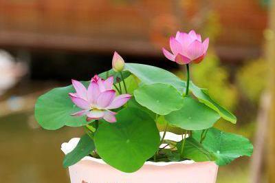 找个破脸盆,埋几株睡莲,开花一朵朵样子美极了