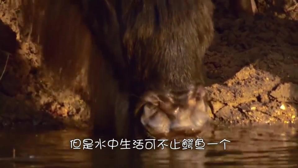 一只鳄鱼被三只河马包围,鳄鱼实在打不过,只有挨打的份