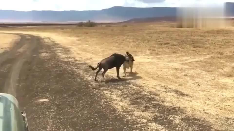 小狮子捕捉角马,不能小看幼狮的爆发力!