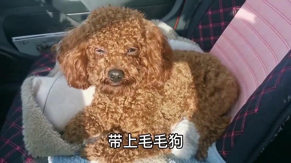 主人说要把狗卖了煮狗肉汤,宠物泰迪狗狗听懂了,哭得好伤心
