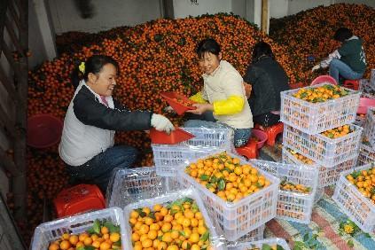 砂糖橘行情见涨,果农顺势喊出3元高价,奈何有价无市