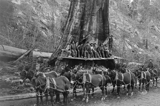 直击百年前美国人伐木:千年古树被粗暴砍倒,巨树面前人类太渺小