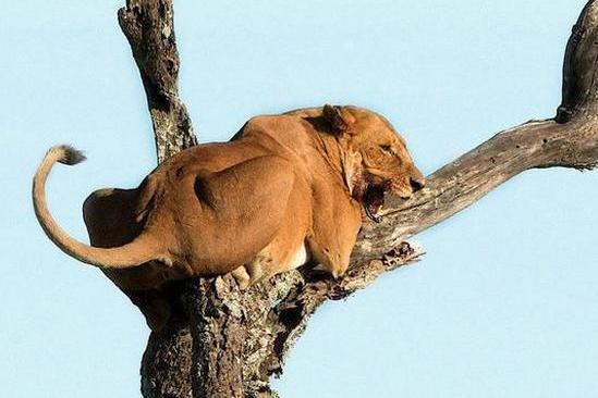 大象竟被树上的狮子给吸引住,狮子看到大象后的举措彻底创造奇迹