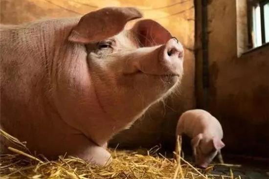 """饲料厂缺货,玉米价格破""""新高"""",养猪还能赚钱吗?"""