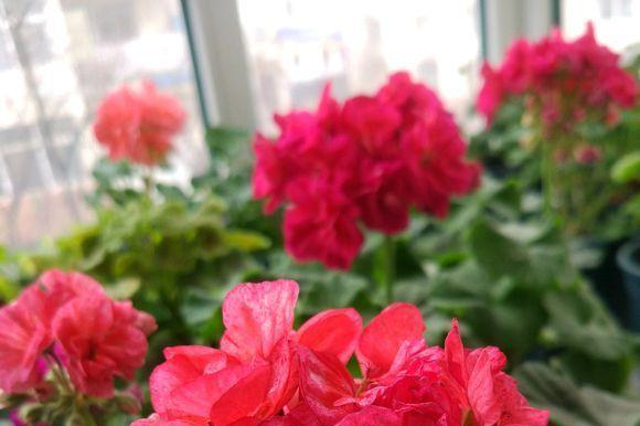 """小小飘窗养上几盆""""它"""",一年到头开花不断,连路过的人都夸漂亮"""