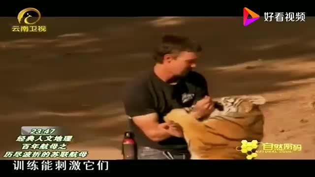 驯兽师训练老虎灰熊老虎在他手中就像一只大点的猫