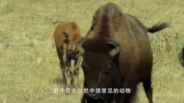 孩子被狮子咬死,母牛气不过找来牛群报仇,狮子被当场撞死