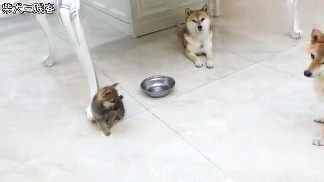 主人给柴犬宝宝们请来了一位狗保姆,但是它好像不是很乐意的样子