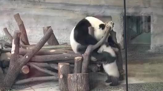 两个熊孩子打打闹闹,熊猫妈妈梦梦也来凑个热闹,比宝贝还顽皮