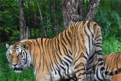 为何老虎被称为百兽之王,它有何特殊?把它毛剃光后,才发现真相