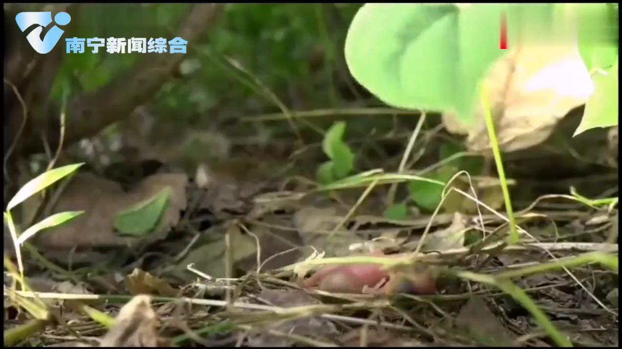 刚出生杜鹃鸟就把其他幼鸟推出鸟窝摔死,现场实拍