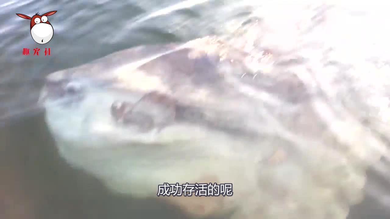 海里最怂的鱼?被咬时活活被吃掉却不知反抗,因为能生才未灭绝!