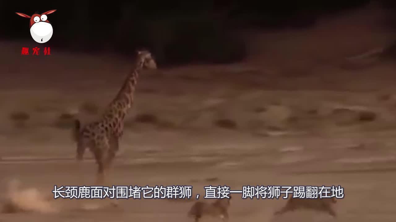 """狮群猎杀长颈鹿,不料却被其""""反杀"""",狮子肠子都悔青了"""