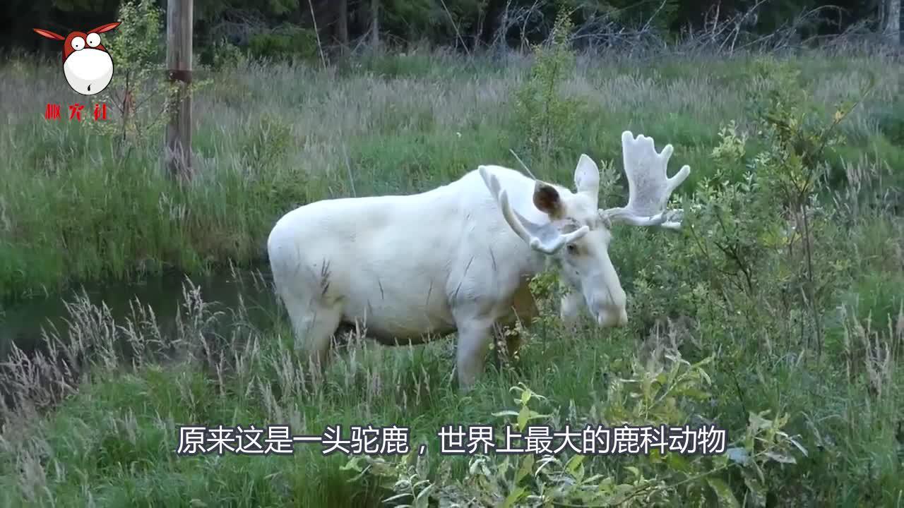 """大兴安岭发现一头神秘""""雪白巨兽"""",体重高达1吨,比犀牛还要高"""