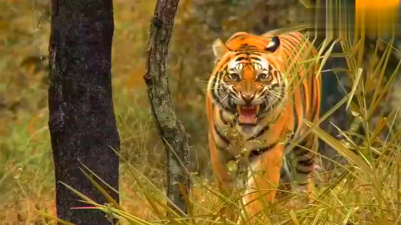 百兽之王!强壮的老虎争夺地盘与同伴厮杀。狩猎镜头完美呈现