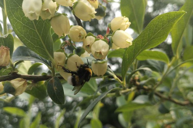 蓝莓授粉犯了难?授粉熊蜂来帮您