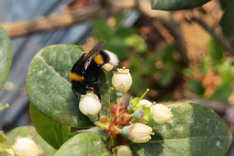 蓝莓授粉季来了,胖胖的熊蜂帮大忙