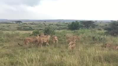 一头雄狮被一大群母狮围殴 知道女人有多可怕了吧
