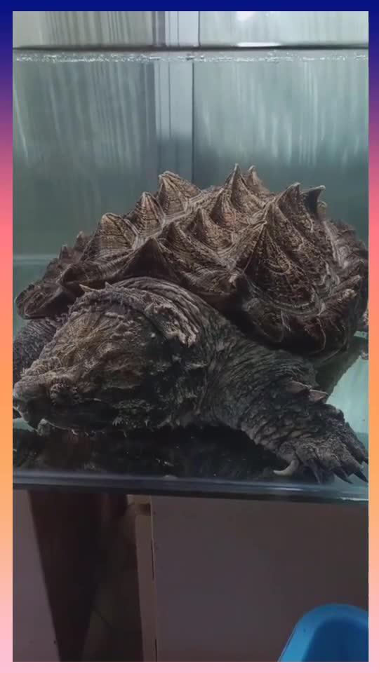 这种乌龟太可怕了,而且嘴巴特别大,就像要吃人一样